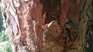 Дерево пострадало после нападения короеда