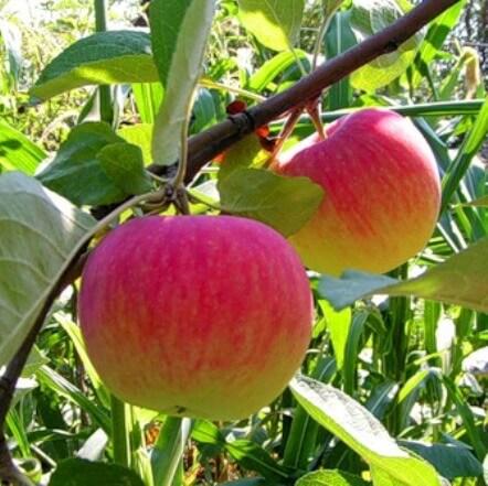 яблони осенью фото