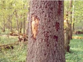 Короед напал на на дерево