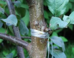 Повреждение ветки плодового дерева