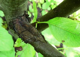 Инфекционная болезнь плодового дерева