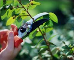 Санитарная обрезка молодых яблонь
