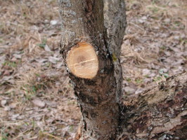 Правильная обрезка старых яблонь осенью
