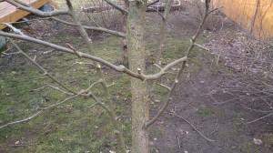 Обрезка фруктово-плодового дерева