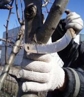 Обрезка плодовых деревьев пилой