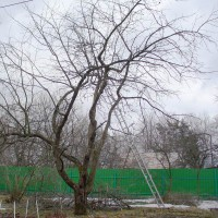 Огромные яблони обрезка