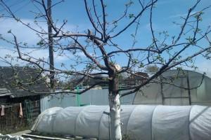 Обрезка молодой яблони в саду