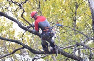 Арборст обрезает декоративное дерево