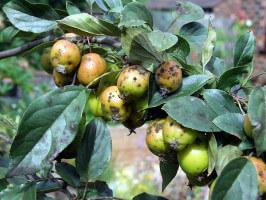 Грибковые заболевания яблони