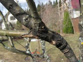 Поражение дерева черным раком