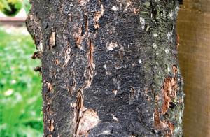 Рак плодового дерева