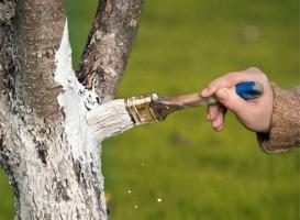 Побелка ствола плодового дерева