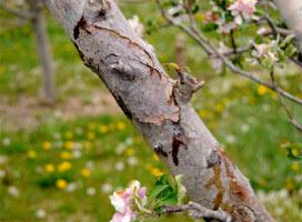Растрескивание кары плодового дерева