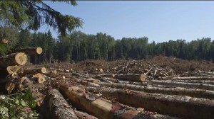 Санитарная рубка деревьев