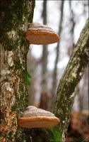 Трутовики на стволах деревьев