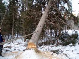 Вырубка отдельных деревьев