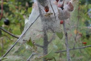 Средства для борьбы с паутинными клещами