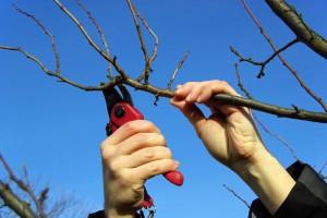 Формирование и обрезка плодового дерева
