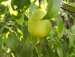 Красивый плод груши