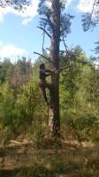 Обрезка деревьев в Малаховке