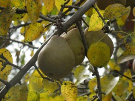 Обрезка груш в саду