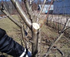 Обрезки крон молодых плодовых деревьев