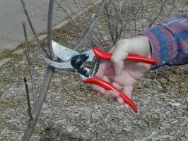 Обрезки веток на кроне молодых плодовых деревьев