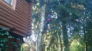 Омолаживания плодовых и декоративных деревьев