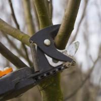Подрезка веток молодого плодового дерева