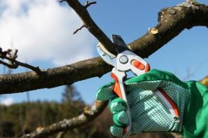 Санитарная подрезка веток на плодово-фруктовых деревьев