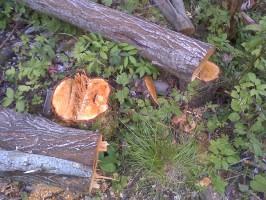 Дерево, предназначенное под сруб