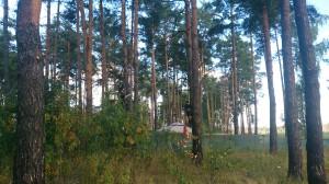 Обрезка деревьев в Ногинском районе