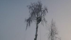 Спил деревьев в наро-фоминском районе альпинистом