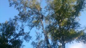 Удаление деревьев в Наро-Фоминском районе по частям
