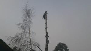 Удаление деревьев в домодедовском районе альпинистом