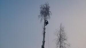 Удаление деревьев в новомосковском районе альпинистом