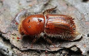 Вот так выглядит жук-короед
