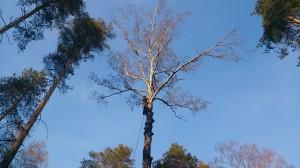 Вырубка деревьев в домодедовском районе альпинистом