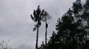 Спилить деревья на даче