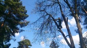 Спиливание дерева начинаестя с веток
