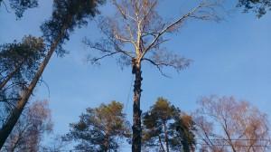 Необходимость спилить дерево у дома