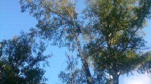 Обращайтесь к арбористам чтобы спилили дерево