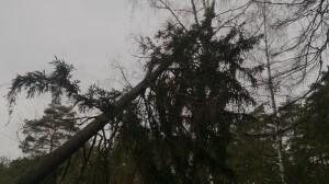 Спилить дерево елку во двор