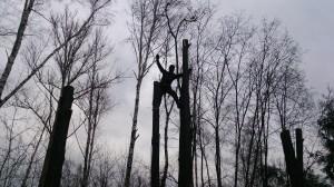 Спилить дерево под окном при помощи арбориста