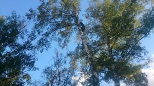 Спилить дерево у дома арбористом