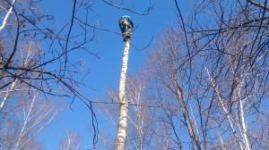 Спиливание деревьев альпинистом