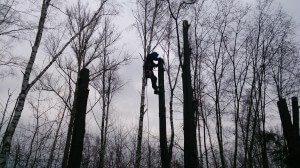 Технологии спиливания деревьев