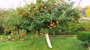 Интересные факты о яблонях