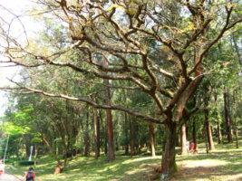 Нефтяное дерево — новый источник керосина