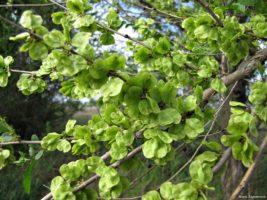 Дерево Вяз («Карагач»)